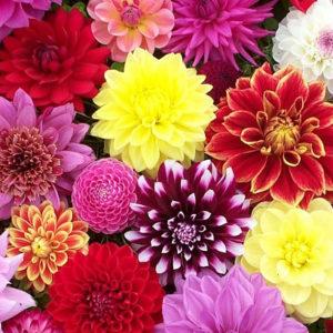 Цибулини квітів (весна)