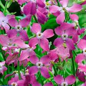 Проф Квіти Матіола